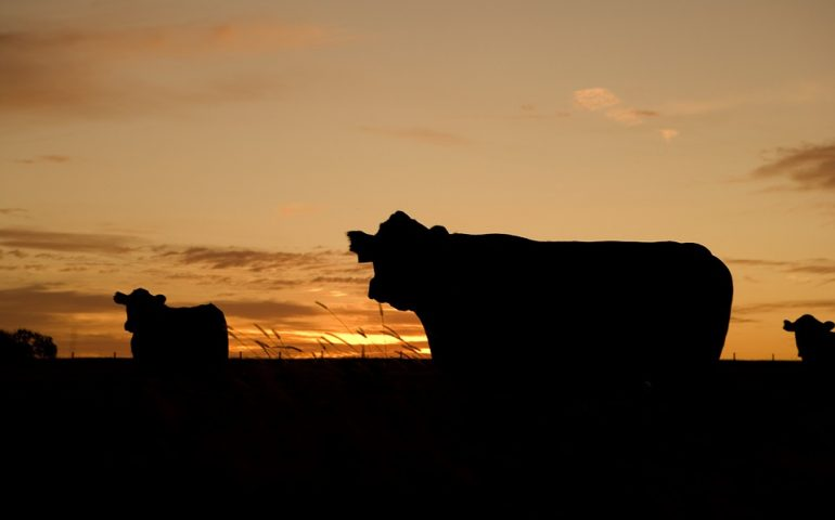 mucche-770x480